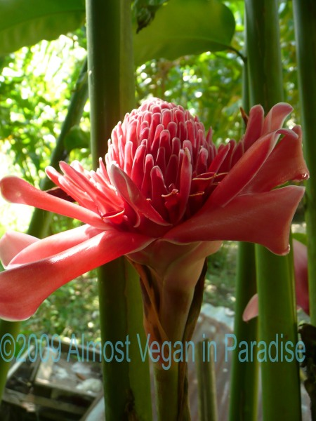 Torch Ginger,  mature flower