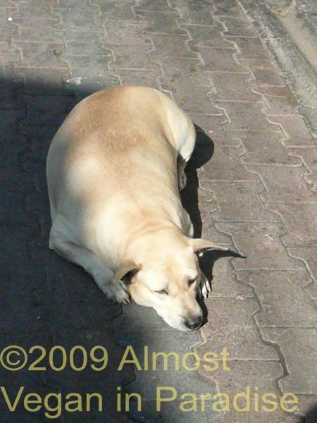The Somphet Market Dog--fat or pregnant?